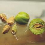 104台灣刺柏之種子與油腺