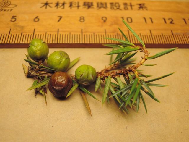 104台灣刺柏24