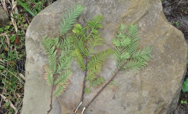 104水杉43