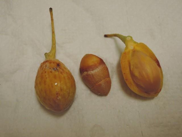 104銀杏種子B03