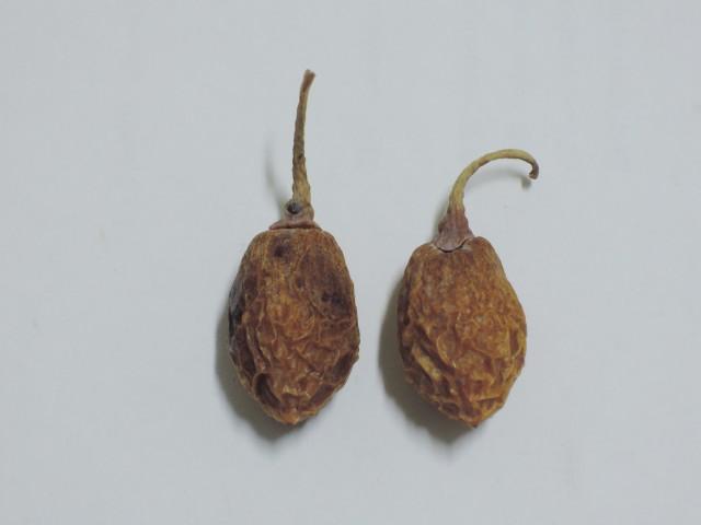104銀杏種子B11