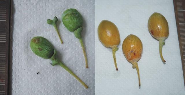 104銀杏種子B12-13