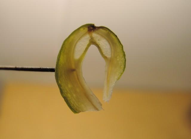 104銀杏種子B20