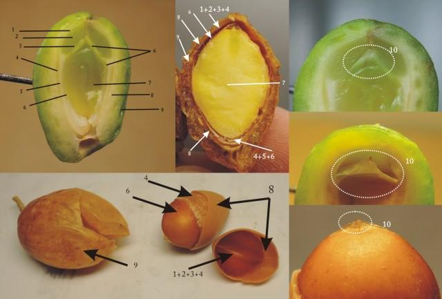 104銀杏種子B23