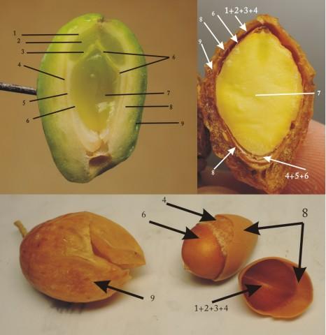 104銀杏種子B25