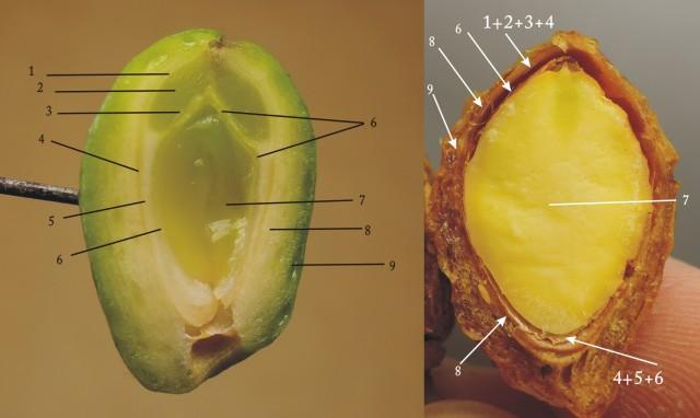 104銀杏種子B26