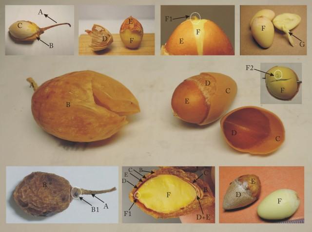 104銀杏細看種子構造圖
