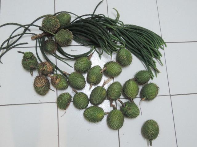 104小葉毬果A02