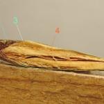 103南洋杉屬之包鱗與珠鱗