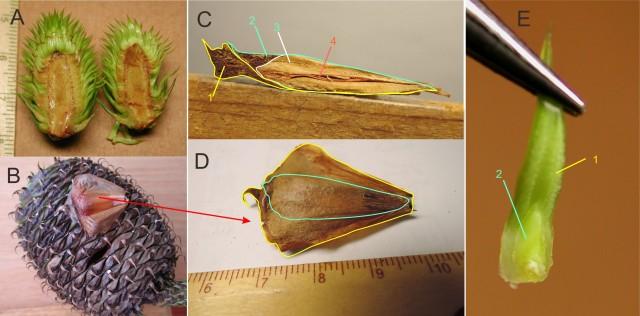 103南洋杉屬-苞鱗與珠鱗25