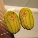104海茄苳之果實與種子