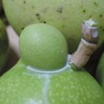 104海檬果之果實與種子