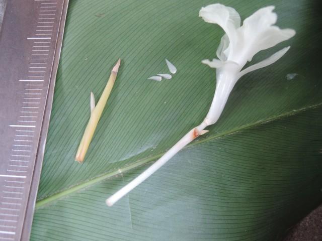 104蘭嶼竹芋A12