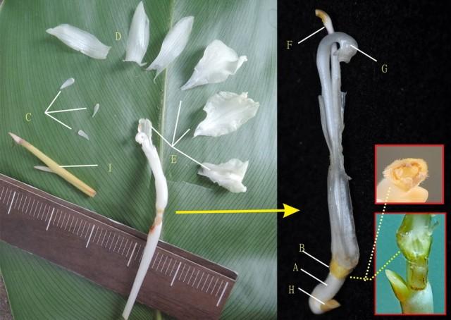 104蘭嶼竹芋B19