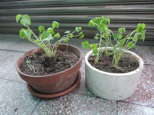 紅豆與綠豆A08