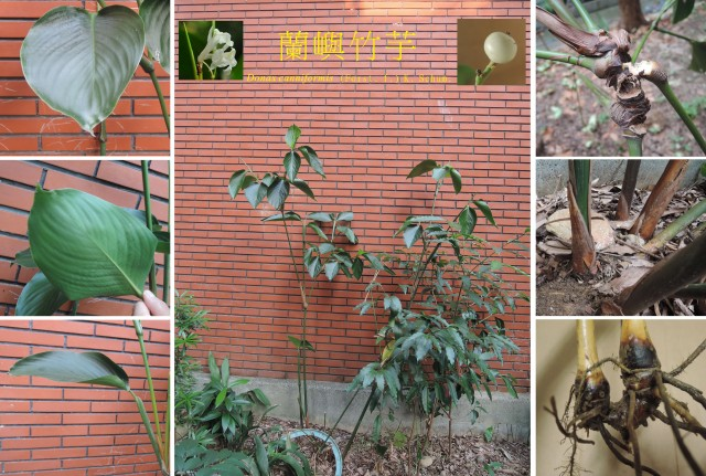 蘭嶼竹芋C00a