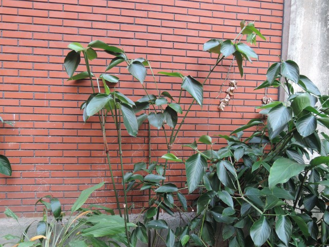 蘭嶼竹芋C02a