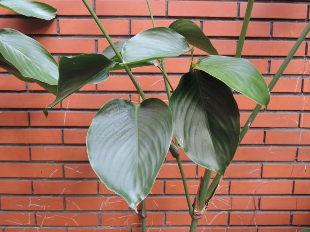 蘭嶼竹芋C03