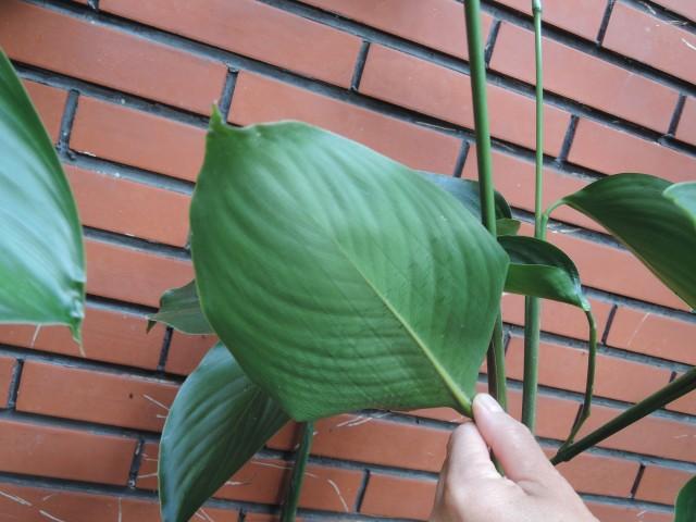 蘭嶼竹芋C04