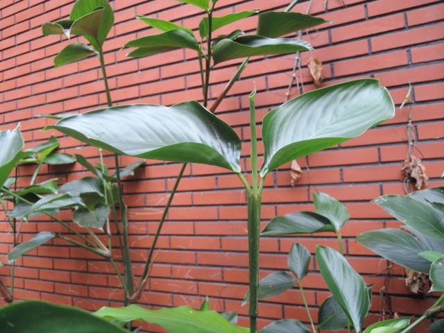 蘭嶼竹芋C05