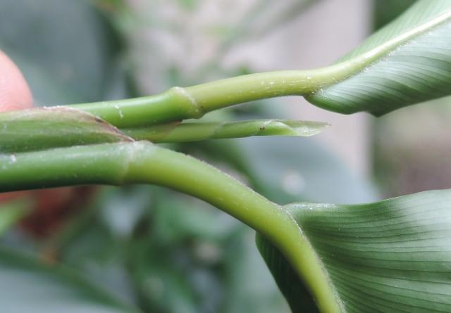 蘭嶼竹芋C06