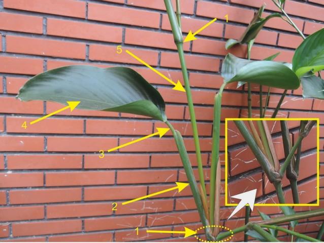 蘭嶼竹芋C12a
