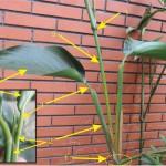 104蘭嶼竹芋C
