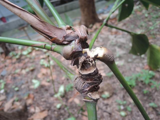 蘭嶼竹芋C16