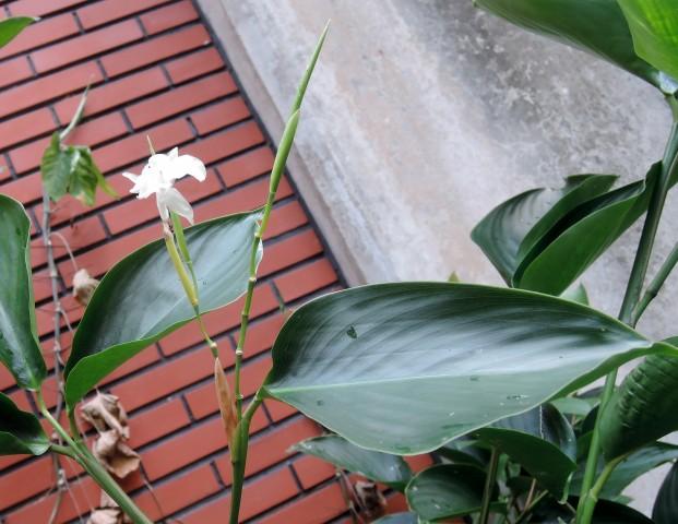 蘭嶼竹芋C21