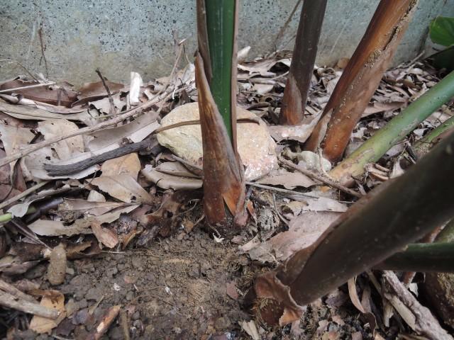 蘭嶼竹芋C24