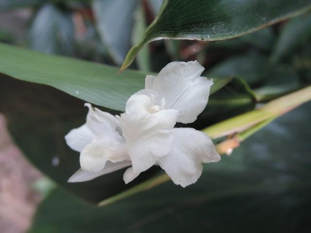 蘭嶼竹芋C27