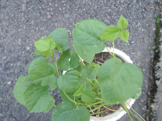 紅豆綠豆發芽紀錄19