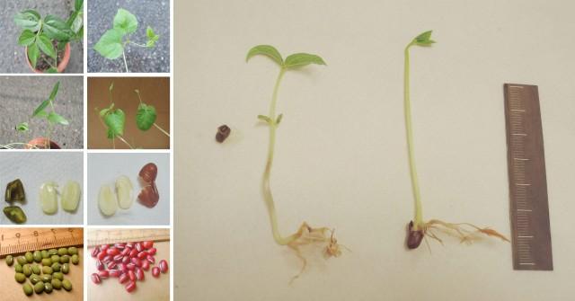 紅豆綠豆發芽紀錄22