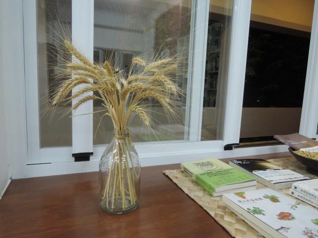 105小麥A01