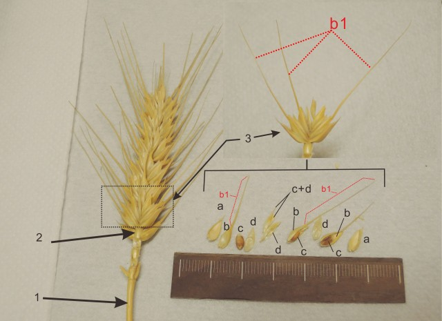 105小麥A15F