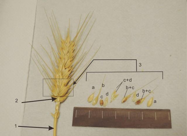 105小麥A16