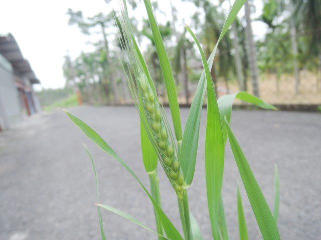 105小麥B04