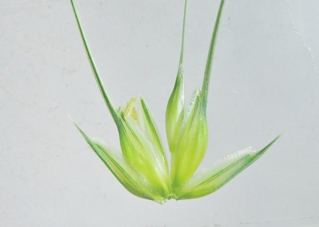105小麥C06