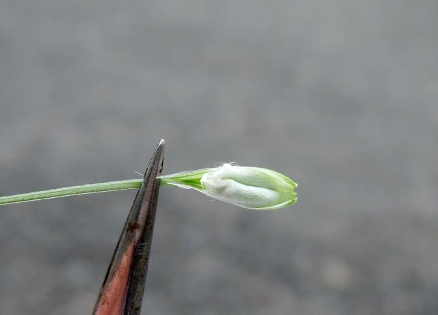 105小麥C18