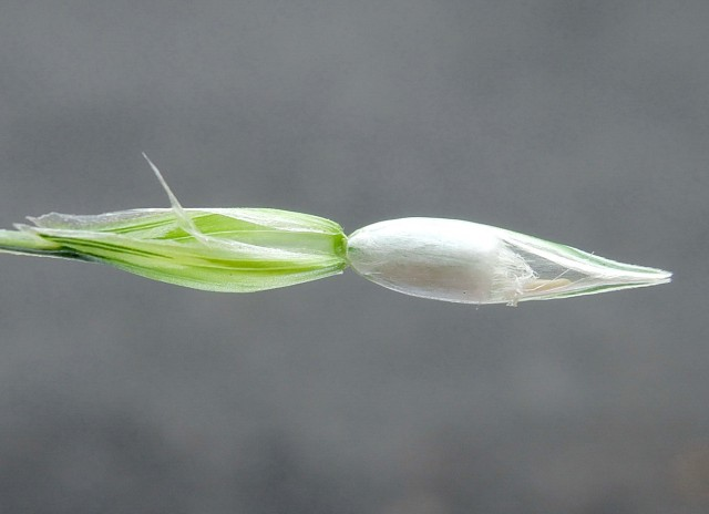 105小麥C19