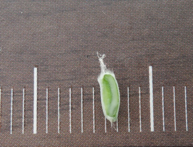 105小麥C27