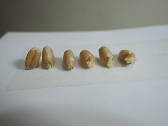 105小麥D07