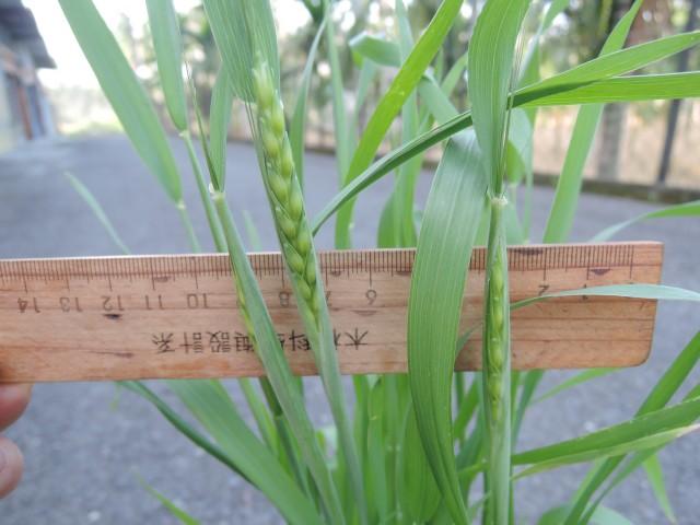 105小麥D23