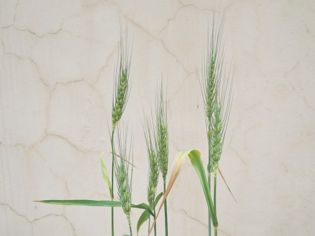 105小麥D26b