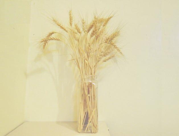 105小麥D34