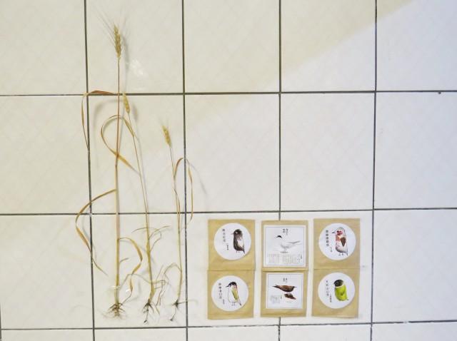 小麥根系A31