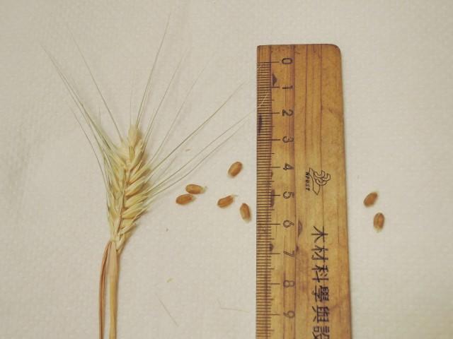 105小麥E15E