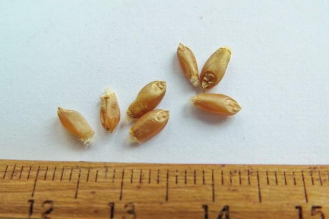 105小麥E18