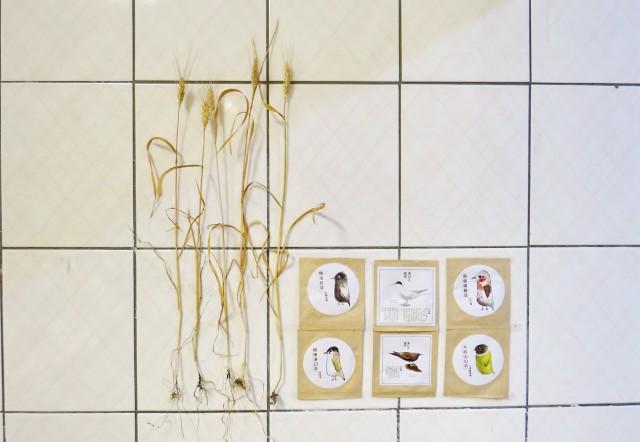 105小麥E22