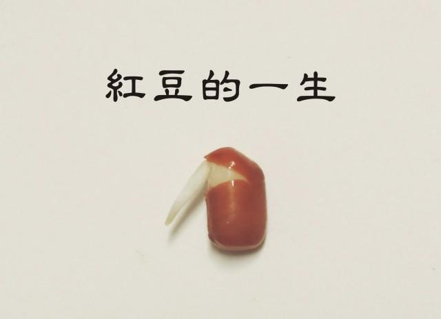 105紅豆生命週期00